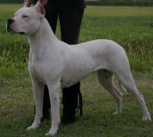 Foto 2 Dogo Argentino Welpen aus beste Zucht in Europa