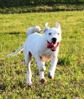 Foto 2 Dogo Argentino Welpen zu verkaufen