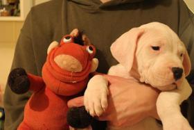 Foto 5 Dogo Argentino Welpen zu verkaufen