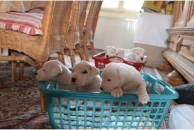 Dogo Argentino Welpen zuverkaufen