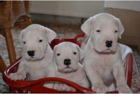 Foto 2 Dogo Argentino Welpen zuverkaufen