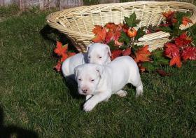 Dogo Argentino in liebevolle Hände abzugeben