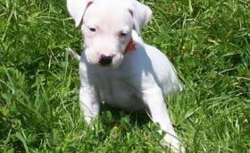Foto 3 Dogo Argentino in liebevolle H�nde abzugeben