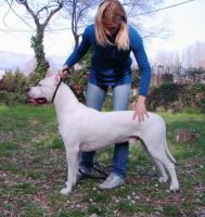 Foto 2 Dogo Argentino süße Welpen zu verkaufen