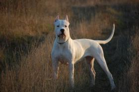 Dogo Argentino wunderbare und kerngesunde Welpen
