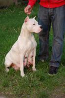 Foto 3 Dogo Argentino wunderbare und kerngesunde Welpen