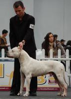 Foto 6 Dogo Argentino wunderbare und kerngesunde Welpen