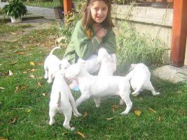 Dogo Argentino wundersüße Welpen zu verkaufen