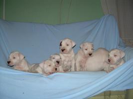 Foto 2 Dogo Argentino wundersüße Welpen zu verkaufen