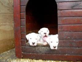 Foto 3 Dogo Argentino wundersüße Welpen zu verkaufen