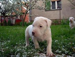 Foto 4 Dogo Argentino wundersüße Welpen zu verkaufen