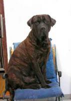 Foto 6 Dogo Canario