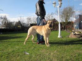 Dogo Canario Hündin