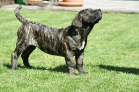 Dogo Canario Welpen der S-Klasse