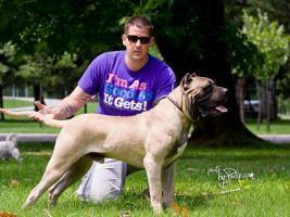 Dogo Canario junger Rüde zu verkaufen