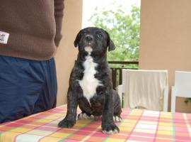 Foto 4 Dogo canario Welpen