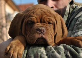 Dogue De Bordeaux Champion Pups