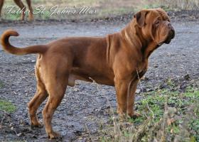 Foto 3 Dogue De Bordeaux Champion Pups