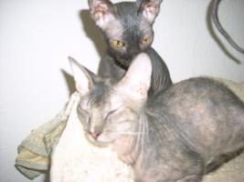 Foto 3 Don Sphynx Kitten ab zu geben