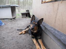 Donny liebevoller Deutscher Sch�ferhund sucht ein neues zu Hause