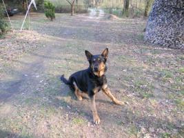 Foto 2 Donny liebevoller Deutscher Sch�ferhund sucht ein neues zu Hause