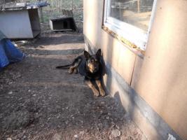 Foto 3 Donny liebevoller Deutscher Schäferhund sucht ein neues zu Hause