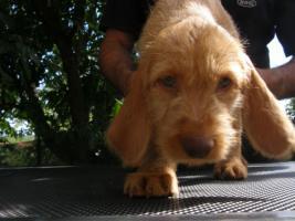 Foto 2 Drahthaariger Ungarischer Vorstehhund