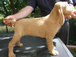 Foto 3 Drahthaariger Ungarischer Vorstehhund