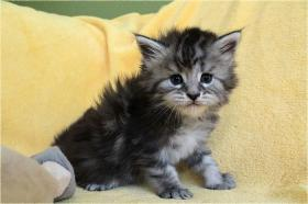 Foto 4 Dreamflowers Maine Coon Kitten