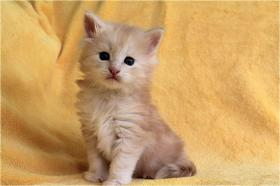 Foto 5 Dreamflowers Maine Coon Kitten