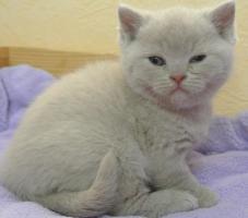 Foto 2 Drei BKH - Kitten suchen noch ein neues zu hause
