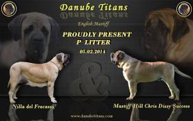 Drei English Mastiff Welpen zum Verkauf