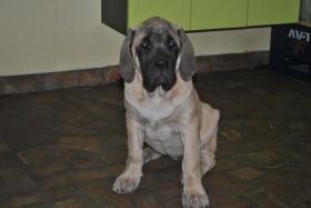 Foto 3 Drei English Mastiff Welpen zum Verkauf