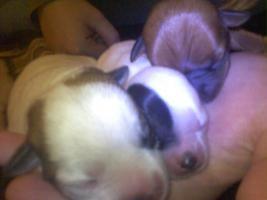 Drei Hunde Welpen abzugeben