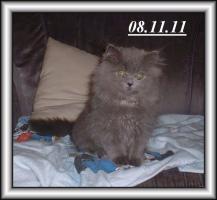 Foto 2 Drei Kuschelperser m. P. suchen ab sofort oder später neue Katzeneltern
