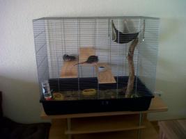 Foto 2 Drei junge Ratten mit Zubehör und Käfig