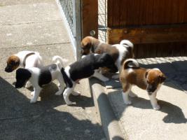 Drei kleine Foxterrier Mädchen suchen ein zu Hause