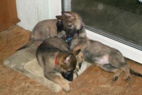 Drei kleine Schäferhundstrolche suchen ein zuhause