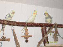 Drei schöne Nymphensittiche suchen neues zu Hause