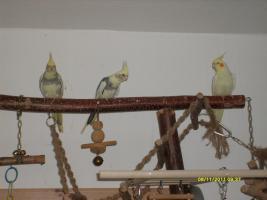 Foto 2 Drei schöne Nymphensittiche suchen neues zu Hause