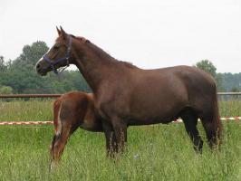 Dressurpferd  oder  Zuchtstute