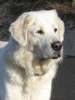 Foto 2 Dringend!! 7 Mon. alten großen Mischlings-Herdenschutzhund zu verkaufen