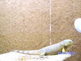 Dringend Leguan zu verkaufen !!!