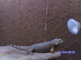 Foto 2 Dringend Leguan zu verkaufen !!!