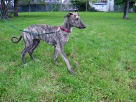 Dringend!!! Sheela (Ungarischer Windhund Welpe) sucht noch ein neues Zuhause