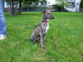 Foto 2 Dringend!!! Sheela (Ungarischer Windhund Welpe) sucht noch ein neues Zuhause