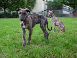 Foto 3 Dringend!!! Sheela (Ungarischer Windhund Welpe) sucht noch ein neues Zuhause
