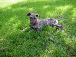 Foto 4 Dringend!!! Sheela (Ungarischer Windhund Welpe) sucht noch ein neues Zuhause