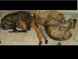 Foto 5 Dringend!!! Sheela (Ungarischer Windhund Welpe) sucht noch ein neues Zuhause