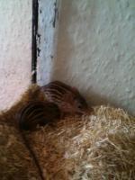 Dringend abzugeben!!! Nachwuchs Vielstreifegrasmäuse